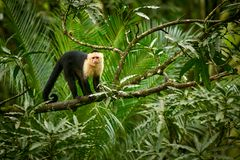 White-headed Capuchin, black monkey sitting on tree branch in th. E dark tropic forest. Wildlife Costa Rica royalty free stock images