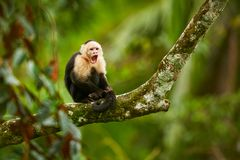 White-headed Capuchin, black monkey sitting on tree branch in th. E dark tropic forest. Wildlife Costa Rica. Monkey with open muzzle with tooth. Angry monkey stock photography
