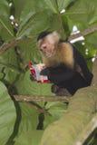 White-headed capuchin at Cahuita national park. White-headed capuchin eating stolen crackers stock image