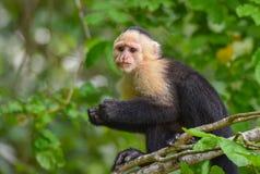 The white-headed capuchin Cebus capucinus. AKA White-faced capuchin or white-throated capuchin. White-headed capuchin Cebus capucinus. Medium sized monkey of royalty free stock images