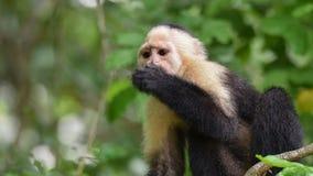 The white-headed capuchin Cebus capucinus. AKA White-faced capuchin or white-throated capuchin. White-headed capuchin Cebus capucinus. Medium sized monkey of royalty free stock photography