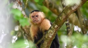 The white-headed capuchin Cebus capucinus. AKA White-faced capuchin or white-throated capuchin. White-headed capuchin Cebus capucinus. Medium sized monkey of stock image