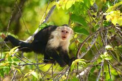 White-headed capuchin. The white-headed capuchin (Cebus capucinus), also known as the white-faced capuchin or white-throated capuchin is found in the rainforest stock images