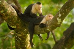 White-headed Capuchin, Cebus capucinus, black monkeys sitting on the tree branch in the dark tropical forest, animals in the. Nature habitat, wildlife of Costa stock images