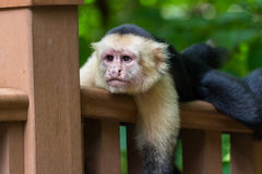 White-headed capuchin - Cebus capucinus. Close up of a white faced monkey on the hand rail for the boardwalk down to the beach in Playa Nacascolo, Costa Rica Royalty Free Stock Photos
