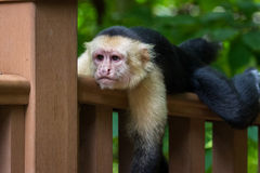 White-headed capuchin - Cebus capucinus. Close up of a white faced monkey on the hand rail for the boardwalk down to the beach in Playa Nacascolo, Costa Rica Stock Images
