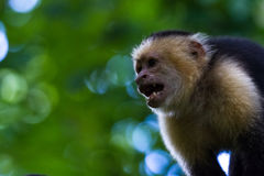 White-headed capuchin - Cebus capucinus. Close up of a white faced monkey in the trees near the beach in Playa Nacascolo, Costa Rica Royalty Free Stock Photography