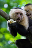 White-headed capuchin - Cebus capucinus. Close up of a white faced monkey in the trees near the beach in Playa Nacascolo, Costa Rica Royalty Free Stock Images