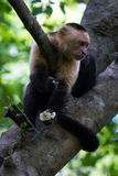 White-headed capuchin - Cebus capucinus. Close up of a white faced monkey in the trees near the beach in Playa Nacascolo, Costa Rica Royalty Free Stock Photo