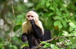 The white-headed capuchin Cebus capucinus. AKA White-faced capuchin or white-throated capuchin. White-headed capuchin Cebus capucinus. Medium sized monkey of stock photos