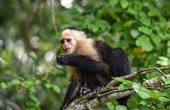 The white-headed capuchin Cebus capucinus. AKA White-faced capuchin or white-throated capuchin. White-headed capuchin Cebus capucinus. Medium sized monkey of stock photography