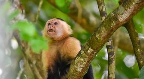 The white-headed capuchin Cebus capucinus. AKA White-faced capuchin or white-throated capuchin. White-headed capuchin Cebus capucinus. Medium sized monkey of royalty free stock photo