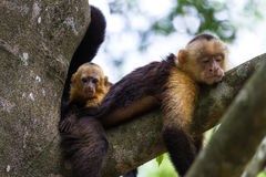 White headed capuchin -  Cebus capucinus Royalty Free Stock Photo