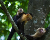 White headed capuchin -  Cebus capucinus. Mom and baby white faced moneys relaxing in a large tree in the Costa Rican rainforest Stock Images