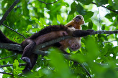 White headed capuchin -  Cebus capucinus. Mom and baby white faced moneys relaxing in a large tree in the Costa Rican rainforest Royalty Free Stock Photos