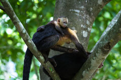 White headed capuchin -  Cebus capucinus. Mom and baby white faced moneys relaxing in a large tree in the Costa Rican rainforest Royalty Free Stock Image