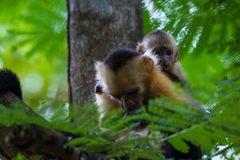 White headed capuchin -  Cebus capucinus. Mom and baby white faced moneys relaxing in a large tree in the Costa Rican rainforest Stock Photo