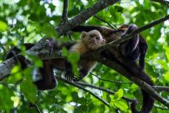 White headed capuchin -  Cebus capucinus - Pura Vida. White faced monkeys relaxing on a tree in Costa Rica. Pura Vida Stock Images