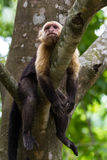 White headed capuchin -  Cebus capucinus - Pura Vida. White faced monkeys relaxing on a tree in Costa Rica. Pura Vida Royalty Free Stock Photos