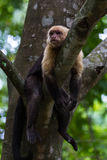 White headed capuchin -  Cebus capucinus - Pura Vida Royalty Free Stock Photography