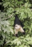 White headed capuchin Cebus capucinus in rain forest. Panama, Central America stock photo