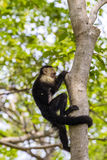 White-headed capuchin - Cebus capucinus. White-headed capuchin climbing up a tree - Cebus capucinus - also known as the white-faced capuchin or white-throated royalty free stock photo