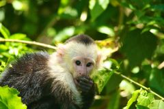 White-headed capuchin,eating Royalty Free Stock Photos
