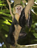 White-headed capuchin. Eating stolen crackers Royalty Free Stock Photos