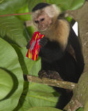 White-headed capuchin. Eating stolen crackers Royalty Free Stock Images