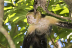White-headed capuchin. Eating stolen crackers Royalty Free Stock Image