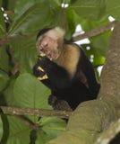 White-headed capuchin. Eating stolen crackers stock photo