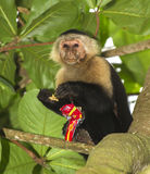 White-headed capuchin. Eating stolen crackers Stock Photography