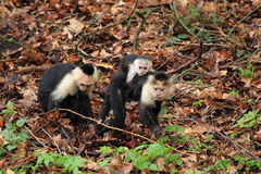 White-headed capuchin. Family in the soil royalty free stock photos