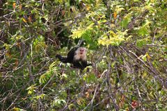 White-headed capuchin hidden. The white-headed capuchin (Cebus capucinus), also known as the white-faced capuchin or white-throated capuchin found in Central royalty free stock photo