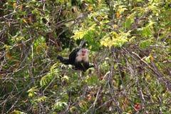White-headed capuchin hidden. Royalty Free Stock Photo