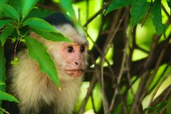 White-headed capuchin hiding, side profile. The white-headed capuchin (Cebus capucinus), also known as the white-faced capuchin or white-throated capuchin is royalty free stock images