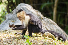 White-headed capuchin looking for food - Cebus capucinus. White-headed capuchin eating - Cebus capucinus - also known as the white-faced capuchin or white Royalty Free Stock Photos