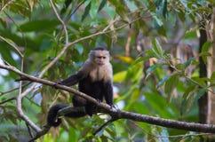 White-headed Capuchin Monkey. The White-headed capuchin monkey, also called white-faced capuchin or white-throated capuchin, is a new world monkey native to royalty free stock photo