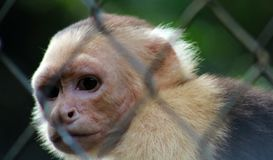 White headed capuchin monkey in cage in Costa Rica. Central america rescued monkey stock photos