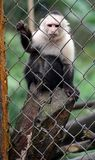 White headed capuchin monkey in cage in Costa Rica. Central america rescued monkey royalty free stock photography