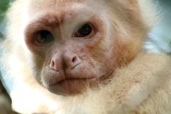 White headed capuchin monkey in cage in Costa Rica stock photos