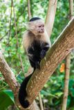 White-headed capuchin monkey Cebus capucinus in Cahuita National Park, Costa Ri. Ca stock photo