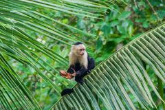 White-headed capuchin monkey Cebus capucinus in Cahuita National Park, Costa Ri. Ca stock photography