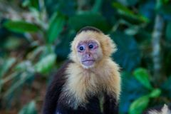 White-headed capuchin monkey Cebus capucinus in National Park Manuel Antonio, Costa Ri. Ca royalty free stock photography