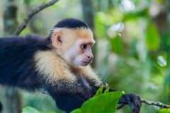 White-headed capuchin monkey Cebus capucinus in National Park Manuel Antonio, Costa Ri. Ca royalty free stock photos