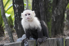White-headed Capuchin Monkey Stock Image
