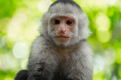White headed capuchin monkey Stock Image