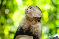 White headed capuchin monkey Stock Photos