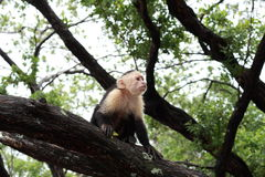 White headed capuchin monkey in Costa Rica. The white headed capuchin monkey sitting a a branch of a Pacific shore of Costa Rica royalty free stock images