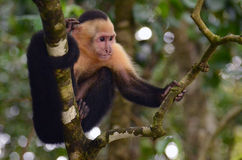 White-Headed Capuchin Monkey. A Capuchin monkey hangs out in a tree in Manuel Antonio Park, Costa Rica royalty free stock photos